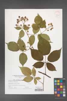 Rubus capricollensis [KOR 40689]