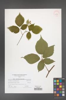 Rubus capricollensis [KOR 40632]