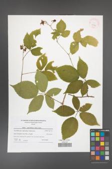 Rubus capricollensis [KOR 41579]
