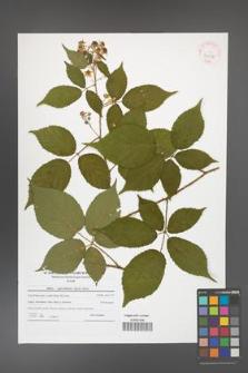 Rubus capricollensis [KOR 42058]