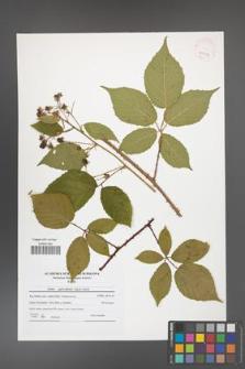 Rubus capricollensis [KOR 41567]