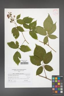 Rubus capricollensis [KOR 41615a]