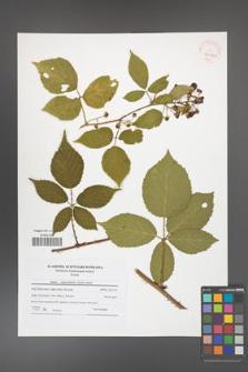 Rubus capricollensis [KOR 41612a]