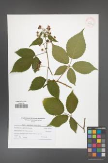 Rubus capricollensis [KOR 41611a]