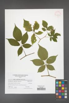 Rubus capricollensis [KOR 41606a]