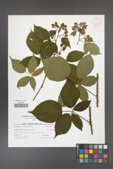 Rubus capricollensis [KOR 42149]