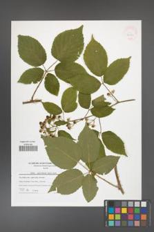 Rubus capricollensis [KOR 42172]