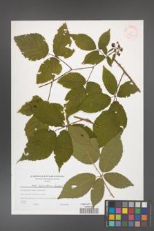Rubus capricollensis [KOR 38939]