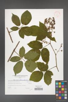 Rubus capricollensis [KOR 38760]