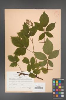 Rubus capricollensis [KOR 30186]