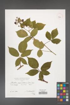 Rubus capricollensis [KOR 39885]