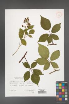 Rubus capricollensis [KOR 39883]