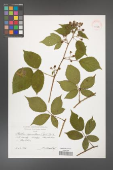 Rubus capricollensis [KOR 39884]
