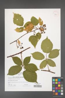 Rubus capricollensis [KOR 40965]