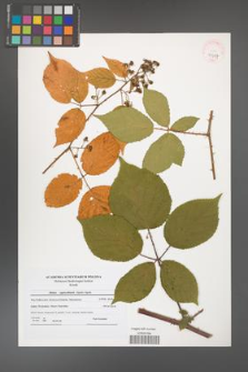 Rubus capricollensis [KOR 41087]