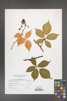 Rubus capricollensis [KOR 41234]