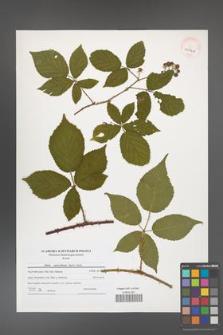 Rubus capricollensis [KOR 40942]