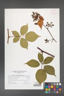 Rubus capricollensis [KOR 40956]