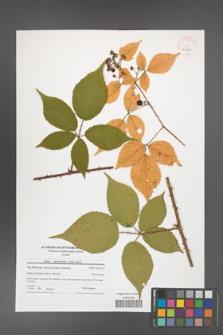 Rubus capricollensis [KOR 41520]
