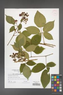 Rubus capricollensis [KOR 41586]