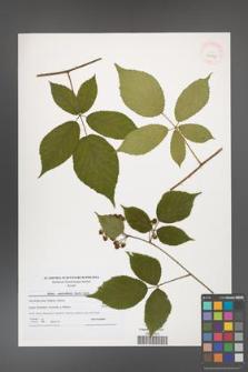 Rubus capricollensis [KOR 40625]