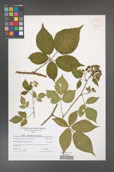 Rubus capricollensis [KOR 40614]