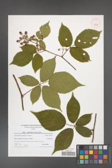 Rubus capricollensis [KOR 40607]