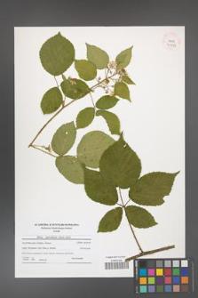 Rubus capricollensis [KOR 41116]