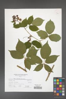 Rubus capricollensis [KOR 41324]