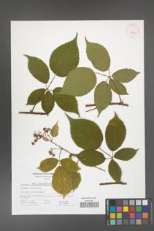 Rubus capricollensis [KOR 41672]