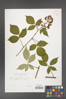 Rubus centrobohemicus [KOR 29535]