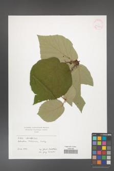 Rubus caucasicus [KOR 41388]