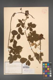 Rubus carpinifolius [KOR 18421]