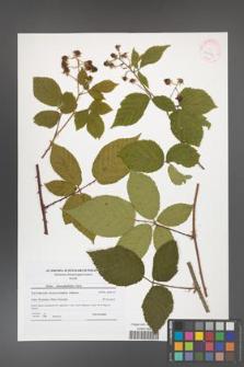 Rubus chaerophylloides [KOR 41856]