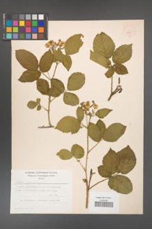 Rubus chaerophylloides [KOR 52585]
