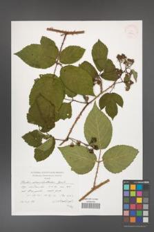 Rubus chaerophylloides [KOR 38309]