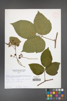 Rubus chaerophylloides [KOR 52579]