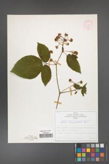 Rubus chaerophylloides [KOR 51920]