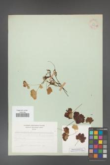 Rubus chamaemorus [KOR 31153a]