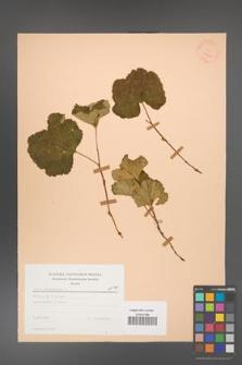 Rubus chamaemorus [KOR 23441]
