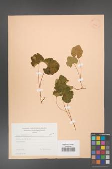 Rubus chamaemorus [KOR 23438]