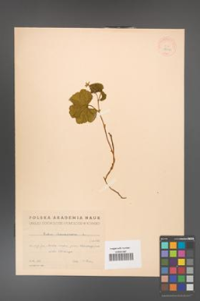 Rubus chamaemorus [KOR 18432]