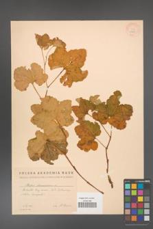 Rubus chamaemorus [KOR 18428]