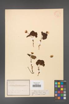 Rubus chamaemorus [KOR 18424]