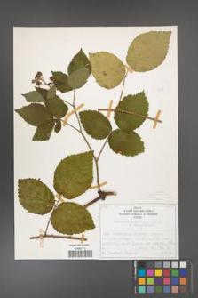 Rubus chaerophylloides [KOR 50479]