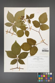 Rubus chaerophylloides [KOR 50478]