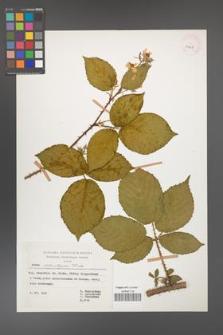 Rubus chlorothyrsos [KOR 29928]