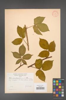Rubus chlorothyrsos [KOR 10546]