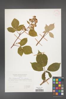 Rubus circipanicus [KOR 31150]