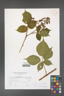 Rubus clusii [KOR 38968]